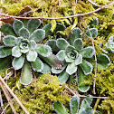 Livelong saxifrage