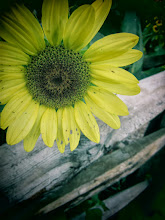 Photo: Toy camera photo of a sunflower and old, wooden fence at Cox Arboretum and Gardens of Five Rivers Metroparks in Dayton, Ohio.