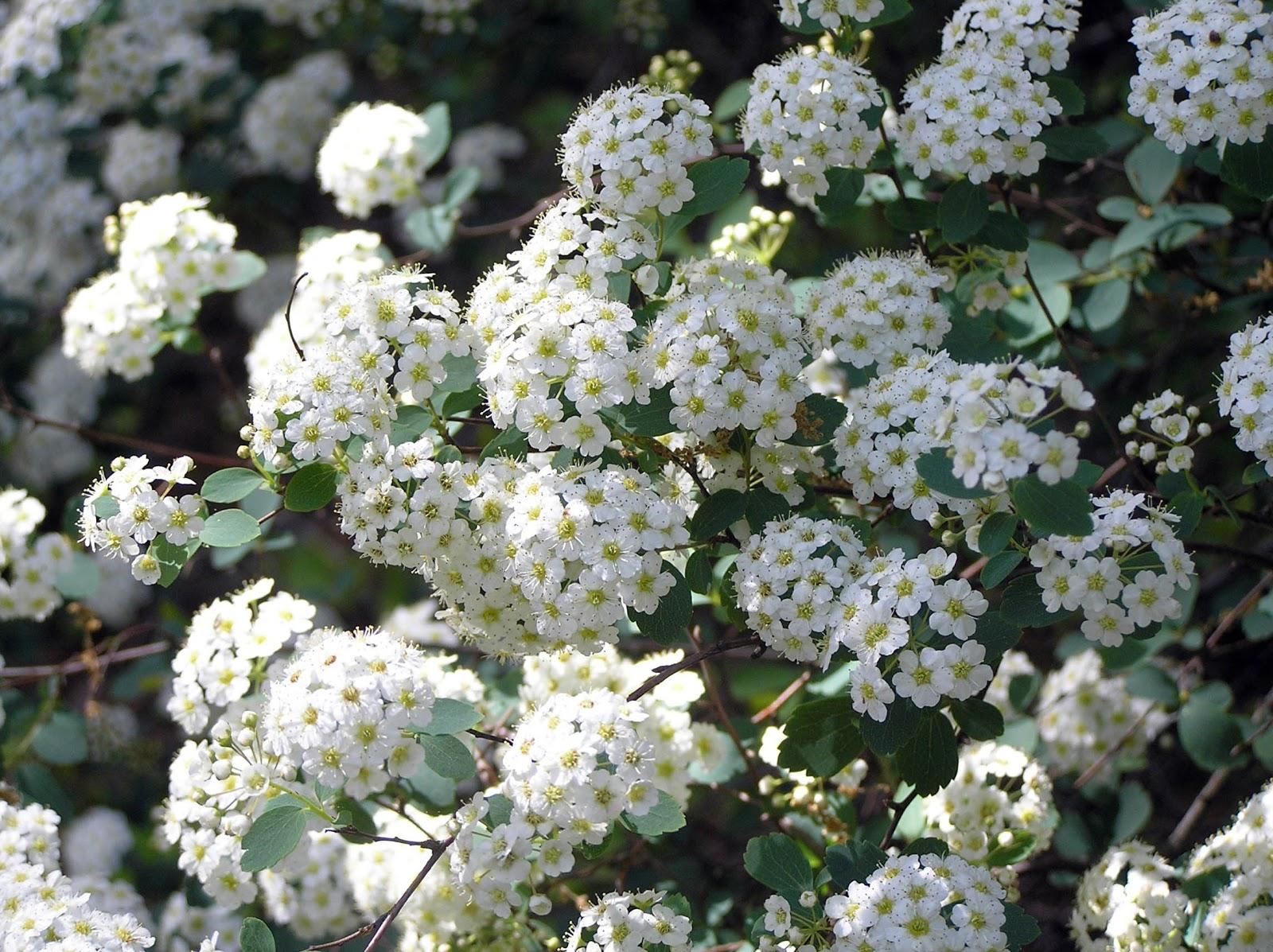 Spirea x vanhouttei flowers close klr 04052007 33