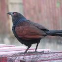 Crow Pheasant
