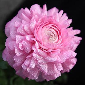 by Biljana Nikolic - Flowers Single Flower ( , breast cancer awareness, pink, lighting, lights, mood factory, hot pink, mood, scents, color, mood-lites, sassy, brighten our world )