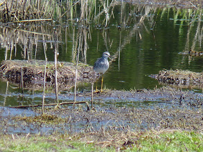 Photo: Greater Yellowlegs: