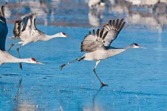 Photo: Sandhill cranes sliding on ice; Bosque del Apache