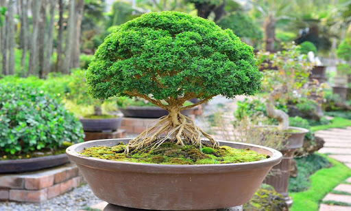 Bonsai Jigsaw