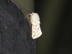 Photo: 26 Jun 13 Priorslee Lake: A particularly fine specimen of White Ermine moth on the same lamp ... (Ed Wilson)