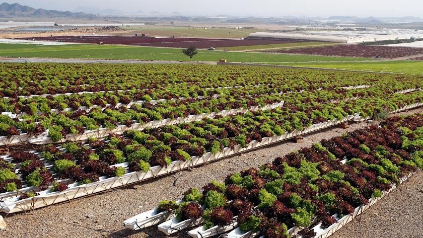 Campos de cultivo de lechugas en Los Guiraos (Cuevas del Almanzora) regados con agua del Trasvase del Negratín y con pozos propios.