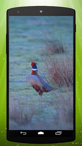 Pheasant Live Wallpaper