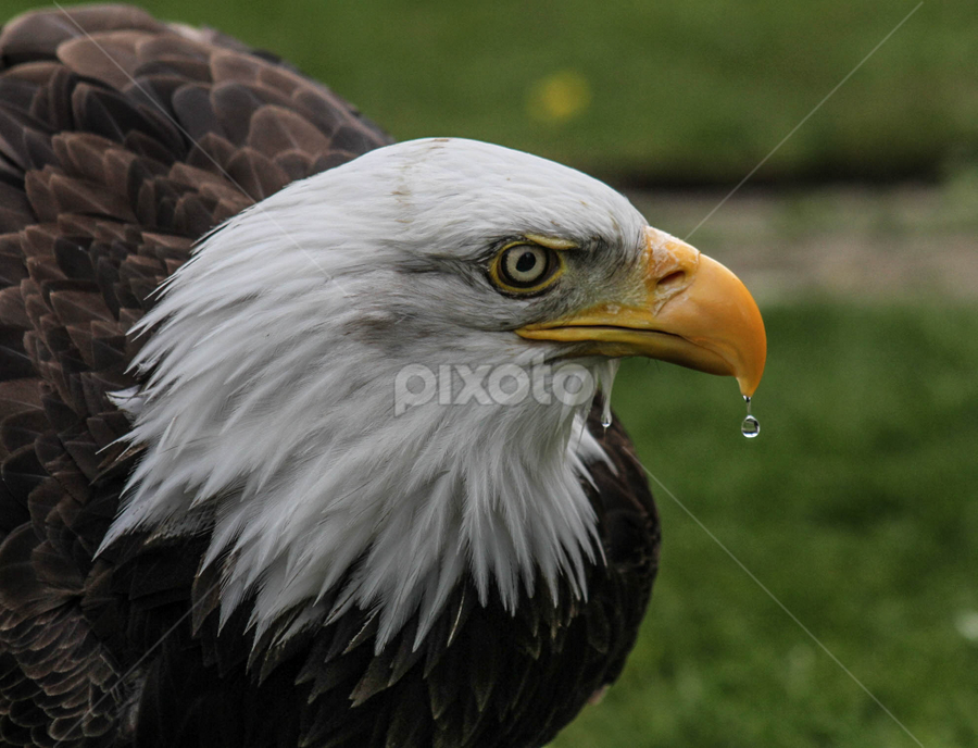 Drip by Garry Chisholm - Animals Birds ( bird, garry chisholm, eagle, nature, wildlife, prey, raptor, bald,  )
