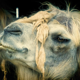 Camel in Molting by Sheen Deis - Animals Other Mammals ( molting, fur, camels, nature, desert animals, nature up close, animals )