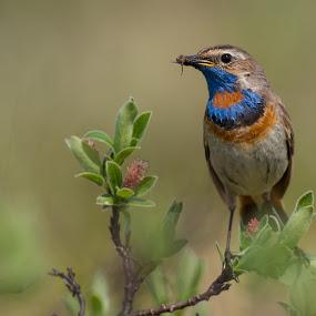 Bluethroat by Kjetil Salomonsen - Animals Birds