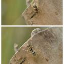 Zebraplatys bulbus 球斑馬蛛