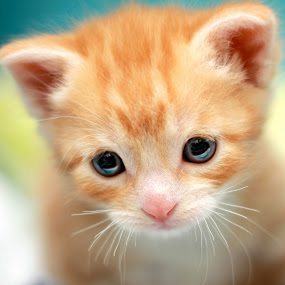 Squee! by Ranee Rose - Animals - Cats Kittens ( orange tabby, cats, kitten, pets, rescue, whiskers, paws, kittens, cute, eyes, baby cat )