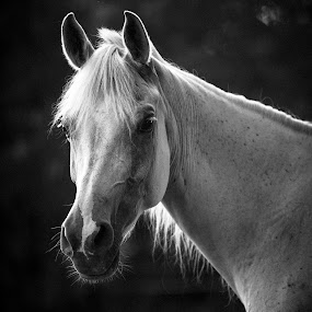 Dora by Stacey Bates - Black & White Animals ( mare, monochrome, equine, black and white, horse, gray,  )