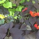 Mocca Yellow Begonia