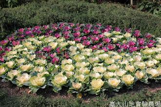 Photo: 拍攝地點: 梅峰-溫帶花卉區 拍攝植物: 葉牡丹 拍攝日期: 2015_01_15_FY