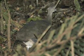 Photo: Undulated Tinamou