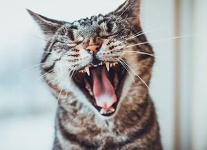 When do kittens get their permanent teeth