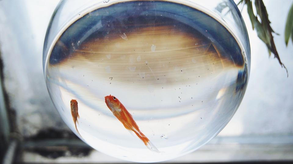 goldfish-2406298_960_720.jpg