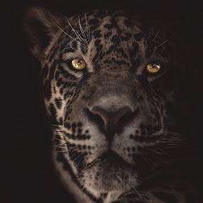 Jaguar by Dragos Birtoiu - Animals Lions, Tigers & Big Cats ( low key animal, jaguar, animal portrait, low key, low key portrait )