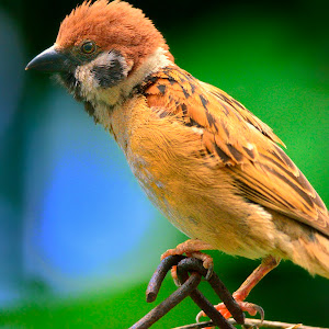 May 6 Eurasian tree sparrow.jpg