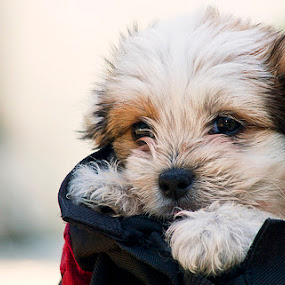 The departure by Ionut Stoica - Animals - Dogs Puppies ( puppie, dog )