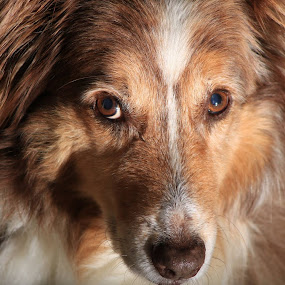 Handsome by Roxanne Dean - Animals - Dogs Portraits (  )