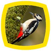 Woodpecker Sounds
