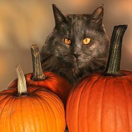 My Cat My Pumpkins by Corinne Noon - Public Holidays Halloween ( smokey, orange, cat, pumpkins, eyes )