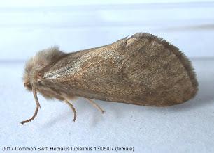 Photo: Female Common Swift