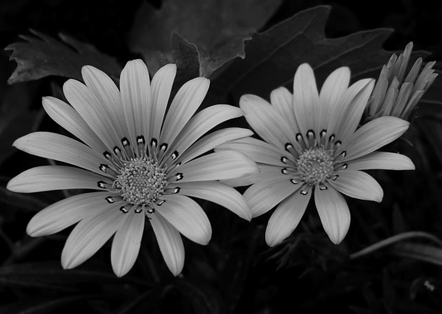 by Marica Popovic - Black & White Macro