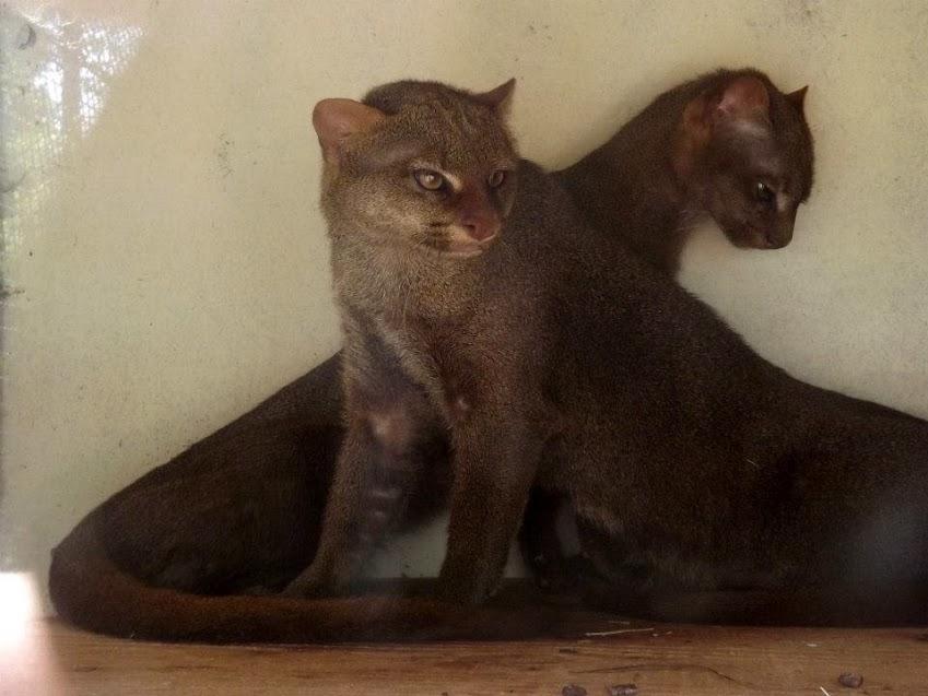 Jeunes jaguarondis, Spaycific'zoo - Tous droits réservés