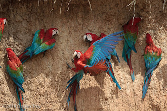 Photo: Red-and-green Macaw