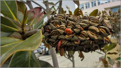 Photo: Magnolia grandiflora din Piata 1 Decembrie 1918, spatiu verde - 2017.02.24