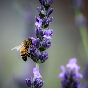 Lavender with bee on Maui by Karen Coston - Flowers Single Flower ( maui, nature, pollination, lavender, flower,  )