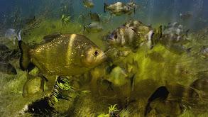 Freshwater thumbnail