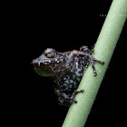 Raorchestes kadalarensis Kadalar Bush Frog