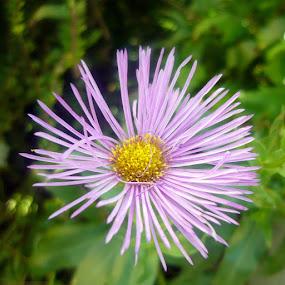 Alone by Helena Moravusova - Flowers Single Flower ( nature, flower )