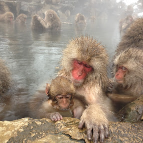 Monkey family in Jigokudani Monkey Forest by Allanah Faherty - Animals Other Mammals ( japan, family, monkey, nagano, animal )