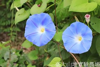 Photo: 拍攝地點: 春陽-可愛植物區 拍攝植物: 西洋朝顏 天際藍 拍攝日期:2013_08_29_FY