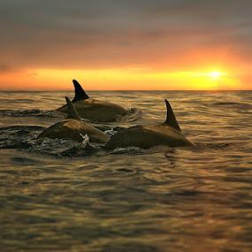 Sunset Lovina by Alit  Apriyana - Animals Other Mammals