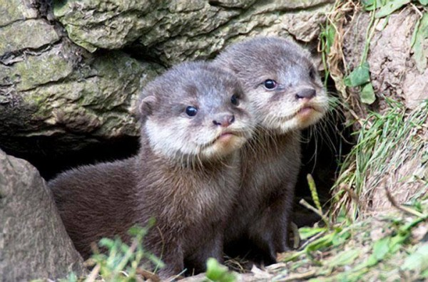 baby-otter-pups-cute-animal-pictures-pics-600x396.jpg