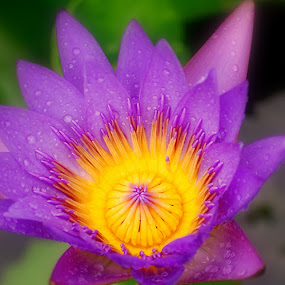 Water Lilly by Colleen Rohrbaugh - Nature Up Close Flowers - 2011-2013 ( nature, plants, gardens, landscapes, flowers,  )