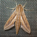 Silver-striped Hawk Moth