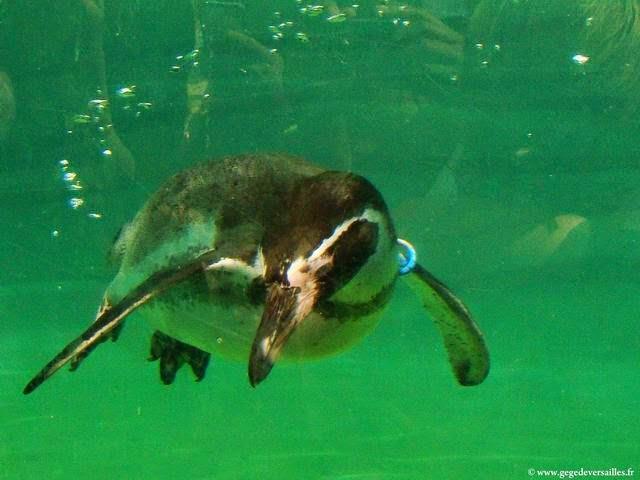 Photo: Manchot de Humboldt au zoo de Vincennes.
