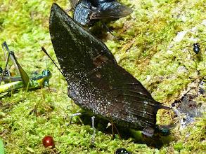 Photo: EDGE LEAFWING--memphis oenomais--APUYA TRAIL