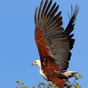 Fisheagle by Bostjan Pulko - Animals Birds ( eagle,  )