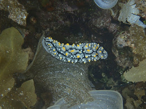 Photo: Phylidia sp. (Nudibranch), Sand Island, Palawan, Philippines.