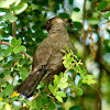 Northern anteater chat