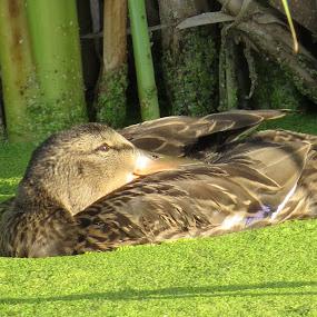 Enjoying the sun by Rose McAllister - Animals Birds ( bird_duck_nature_green_wetlands,  )