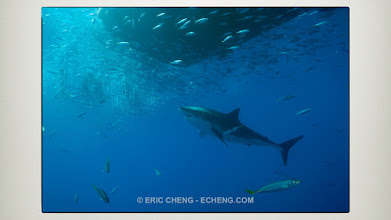 Photo: Great white sharks: Guadalupe, Mexico